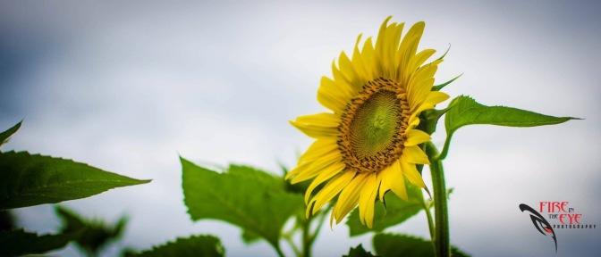 Sunflowers 2017…Connecticut